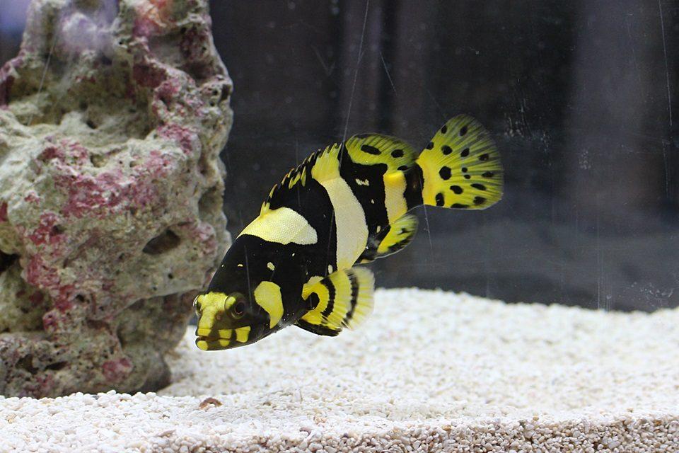 タマカイの幼魚