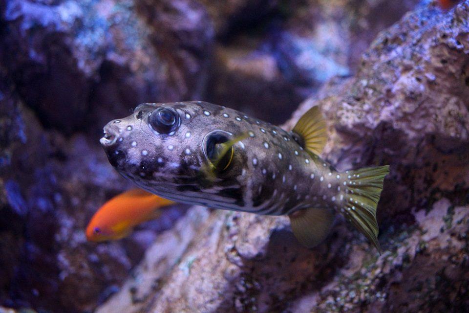 サザナミフグ幼魚