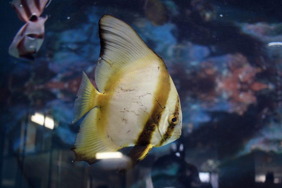 ツバメウオの幼魚
