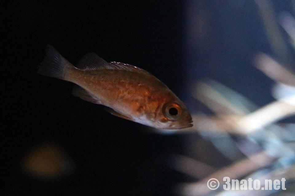 メバルの幼魚(竹島水族館) 撮影日:2017/07/26