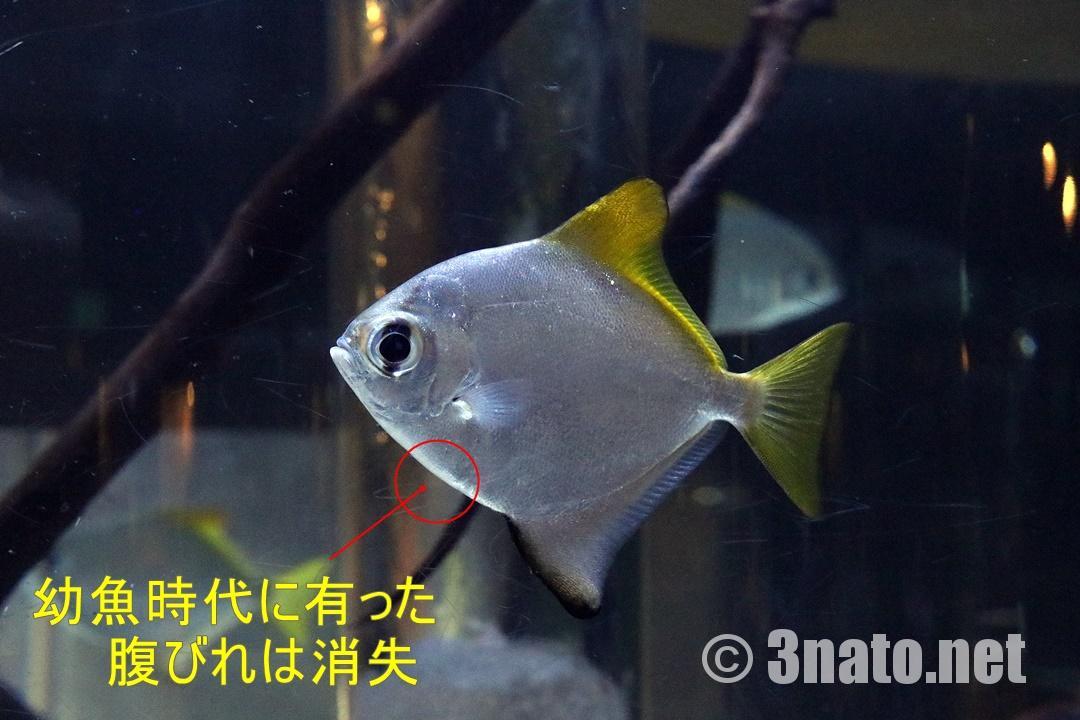 ヒメツバメウオの成魚(碧南海浜水族館)撮影日:2018/11/23