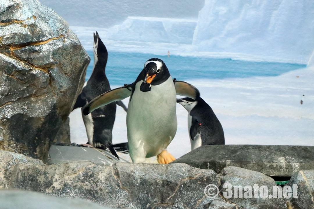 巣作り中のジェンツーペンギン(名古屋港水族館)撮影日:2018/09/15