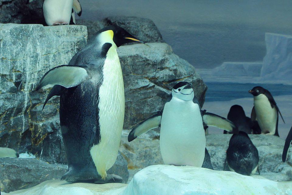 コウテイペンギンとの比較