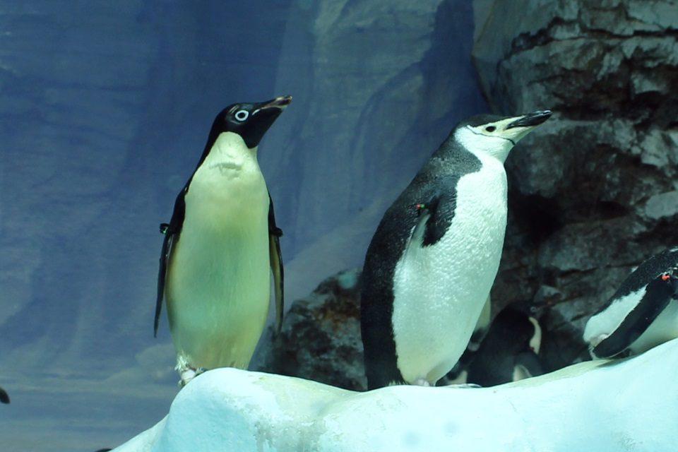 アデリーペンギンとヒゲペンギン