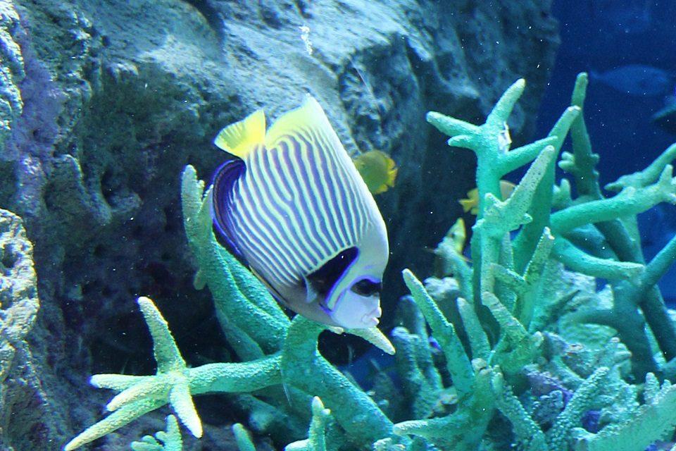 アデヤッコの幼魚