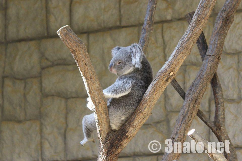 東山動物園のコアラ