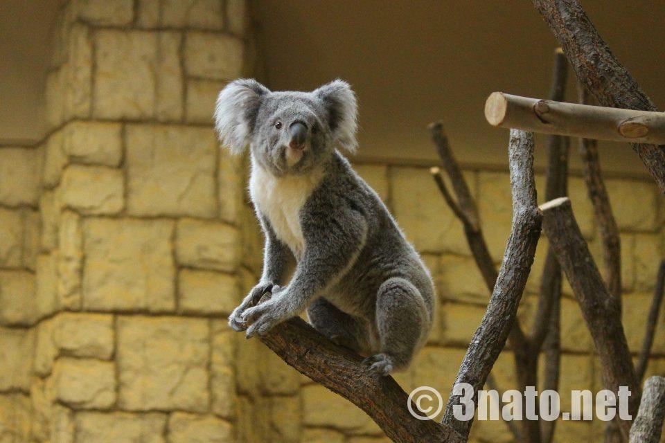 東山動物園のコアラ チャーリー