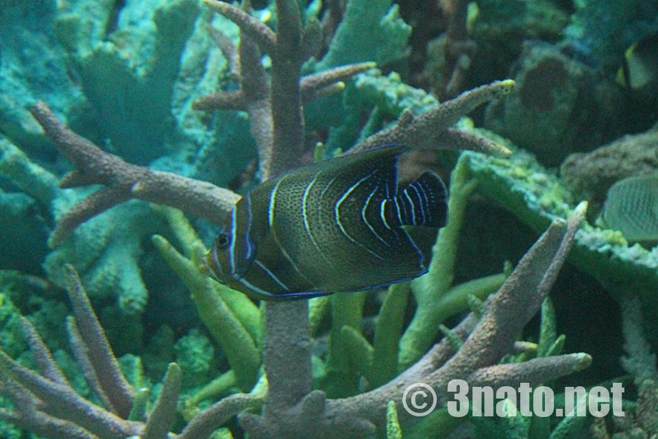 サザナミヤッコの幼魚