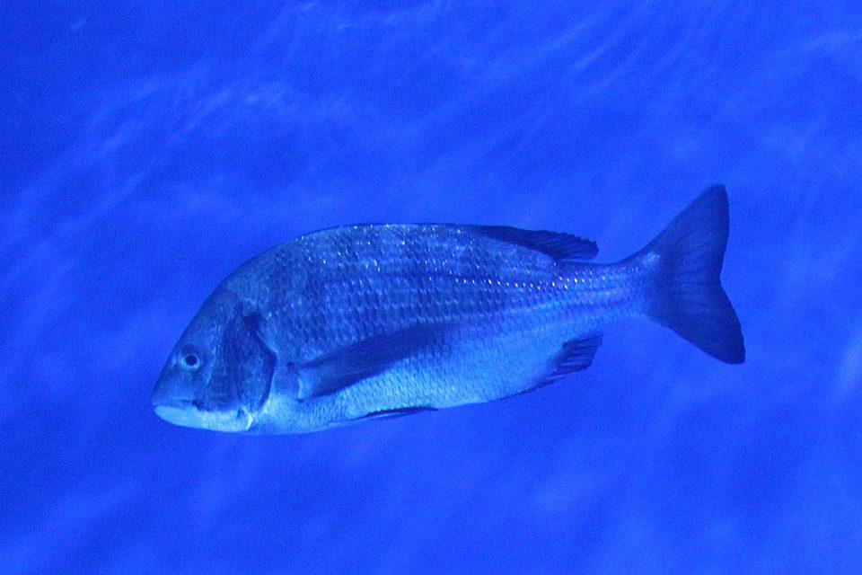 クロダイ(黒鯛)