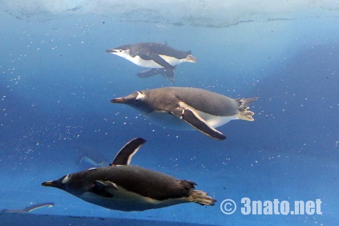 飛ぶように泳ぐジェンツーペンギン(名古屋港水族館)撮影日:2018/12/15