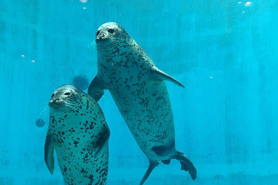 名古屋港水族館のゴマフアザラシ
