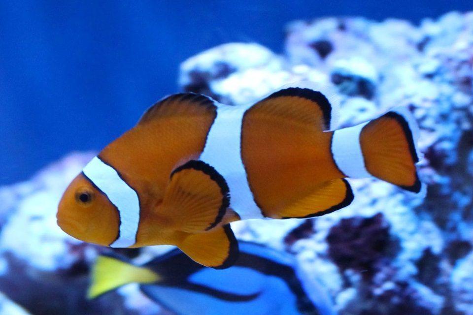 名古屋港水族館のカクレクマノミ