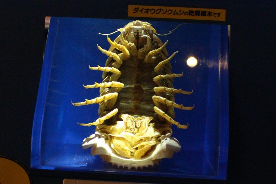 ダイオオグソクムシ標本