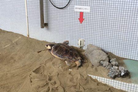 ウミガメの人工砂浜