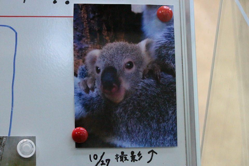 コアラ 赤ちゃん