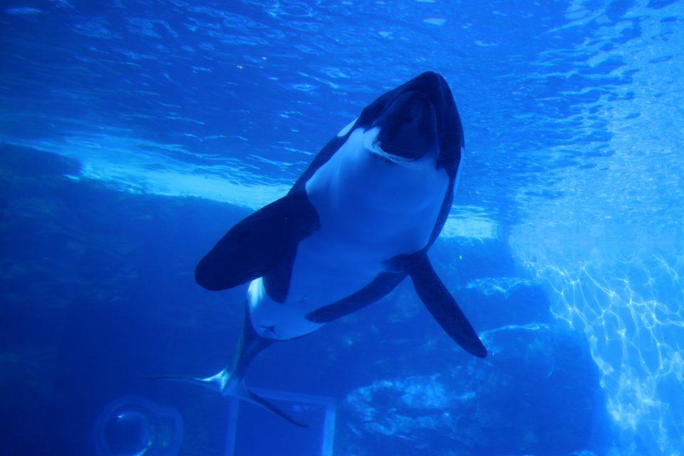 名古屋港水族館 シャチのステラ