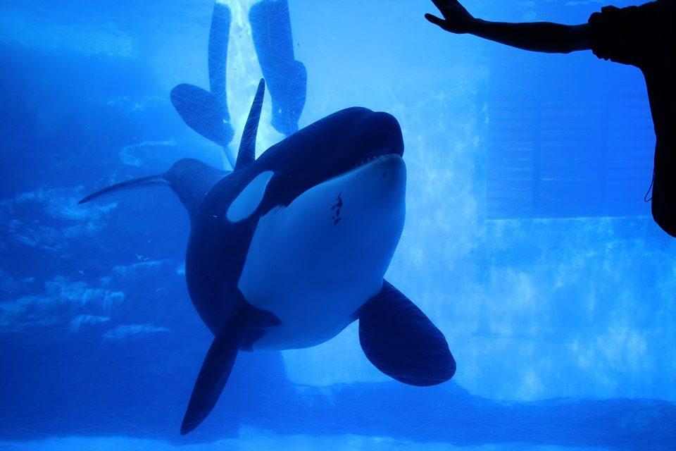 名古屋港水族館 シャチのリン