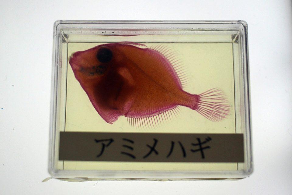 透明標本 アミメハギ