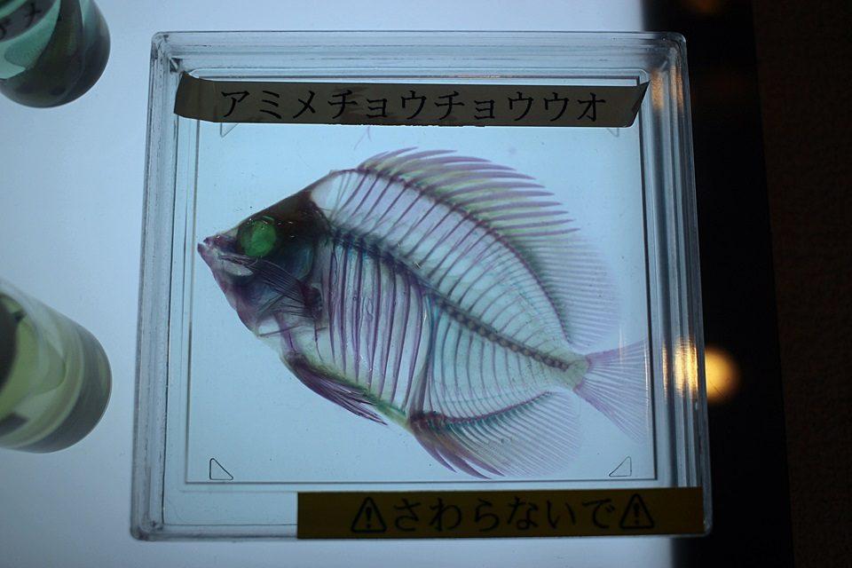 透明標本 アミメチョウチョウウオ