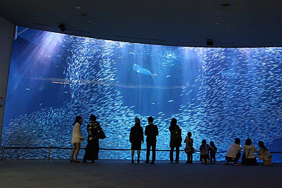 黒潮大水槽のマイワシ