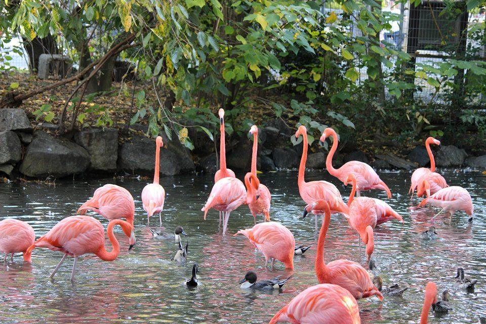 東山動物園 フラミンゴ