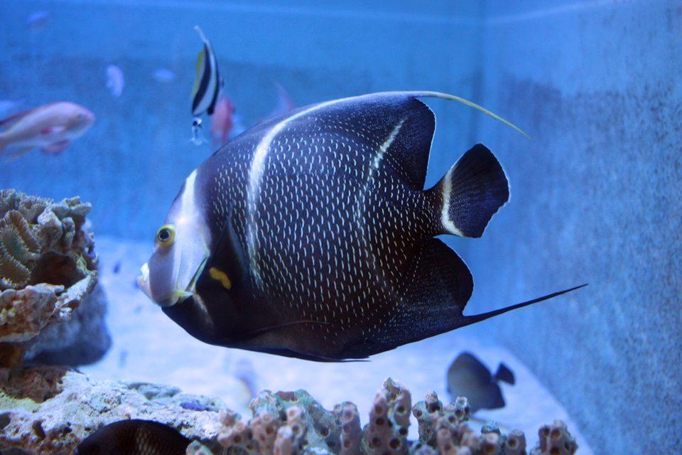 フレンチエンゼルフィッシュ(幼魚)