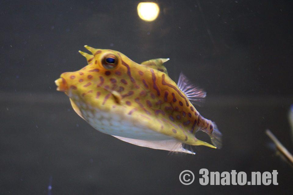 シマウミスズメ