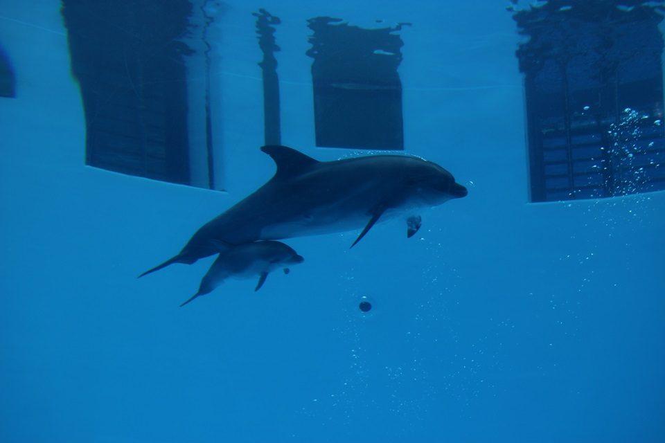 名古屋港水族館 バンドウイルカのココ母子