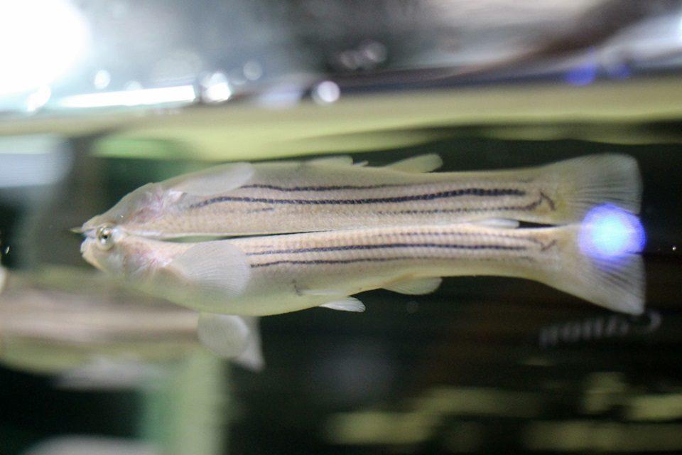竹島水族館 ヨツメウオ