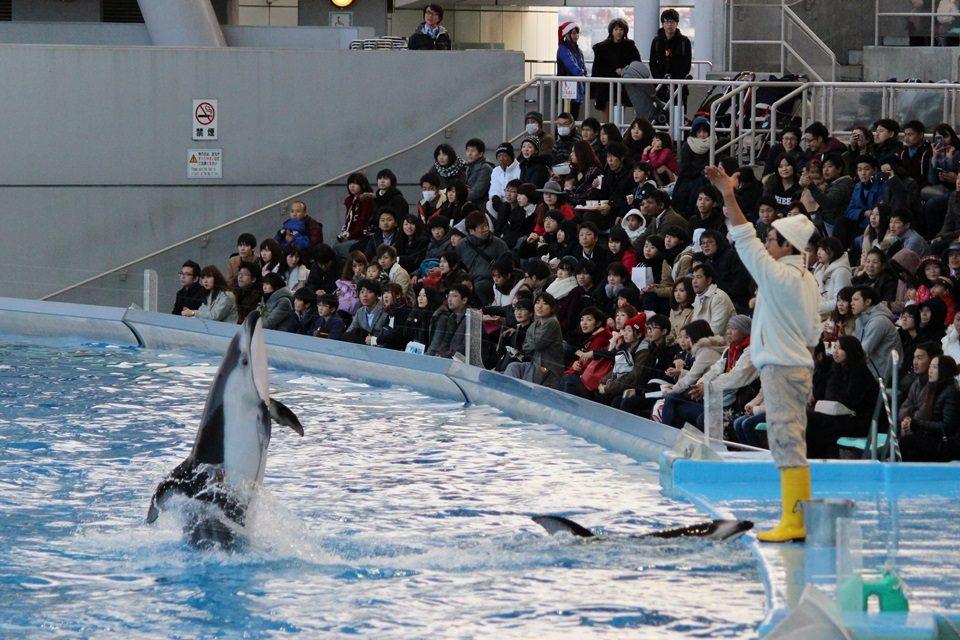 名古屋港水族館 カマイルカのバックダンス披露