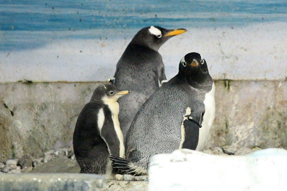 名古屋港水族館 ペンギンの赤ちゃん