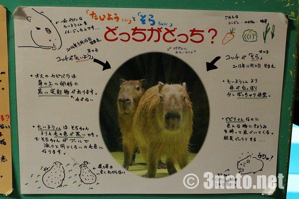 竹島水族館 たいようくんとそらちゃん見分け方