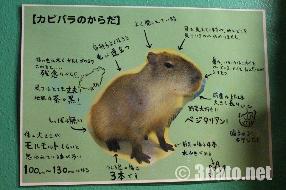 竹島水族館 カピバラのからだ