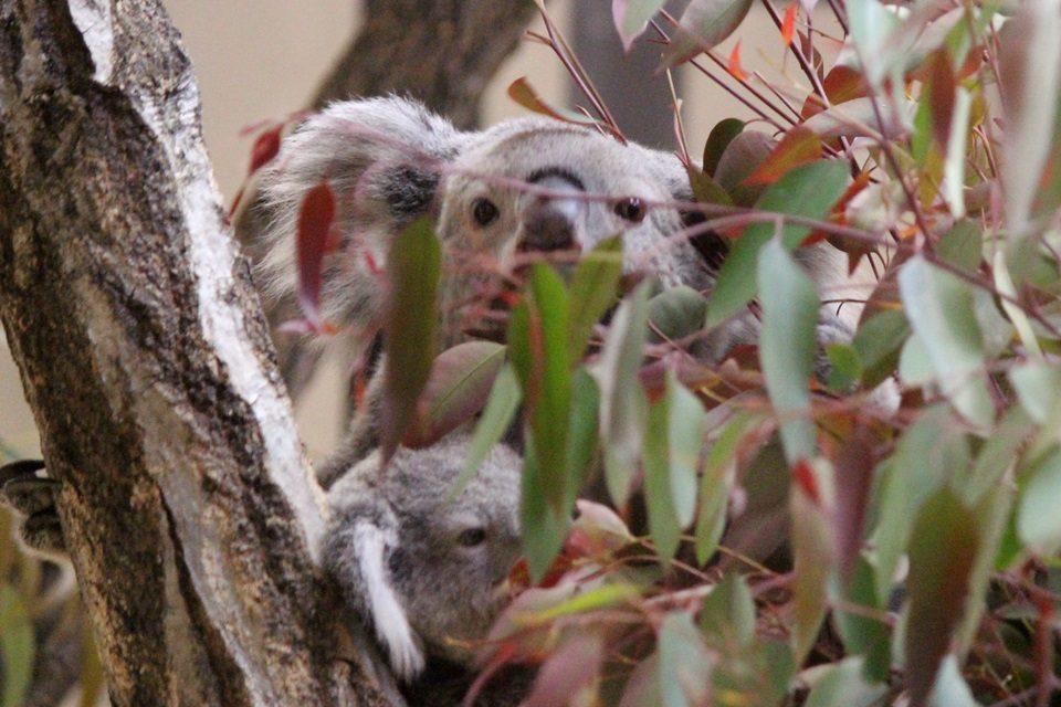 東山動物園 コアラの赤ちゃん