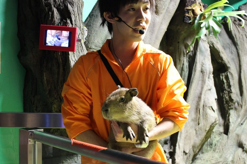 竹島水族館 カピバラのすみれちゃん