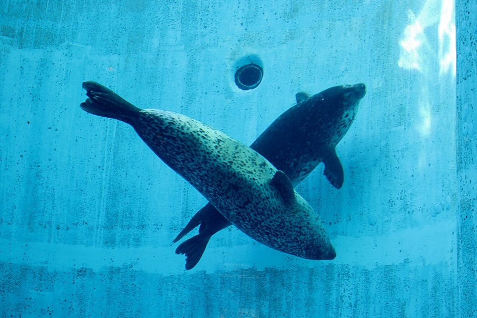 名古屋港水族館 ゴマフアザラシ