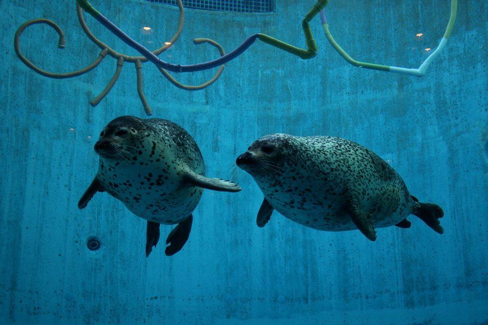 名古屋港水族館ゴマフアザラシのアラシとサクラ