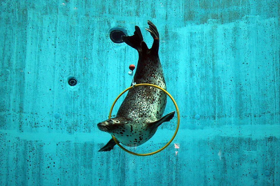 名古屋港水族館のゴマフアザラシ イベントの模様