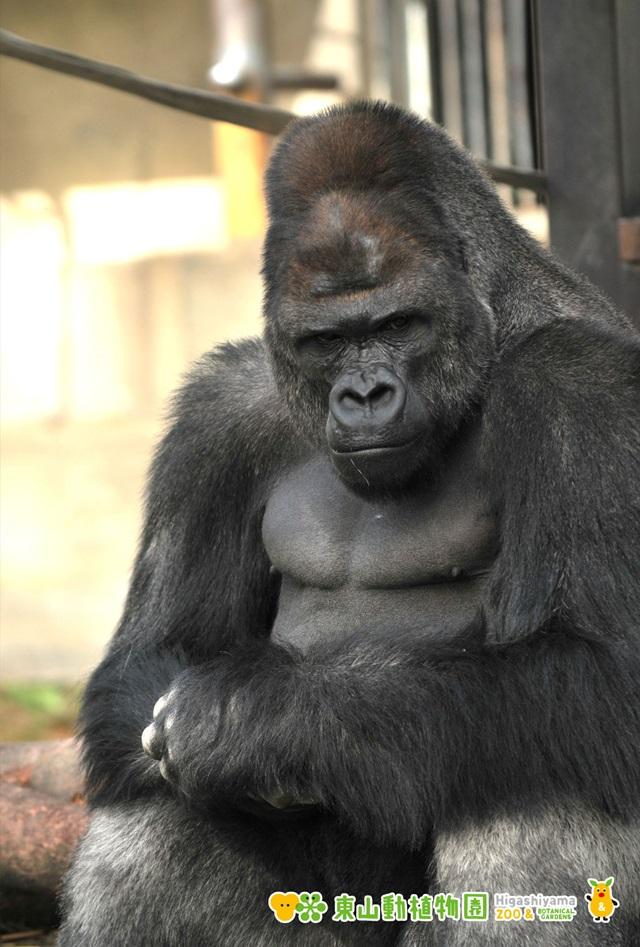 東山動物園 イケメンゴリラのシャバーニ