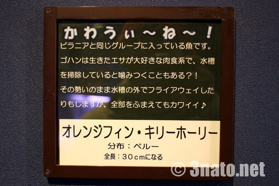 オレンジフィンキリーホーリー 竹島水族館解説