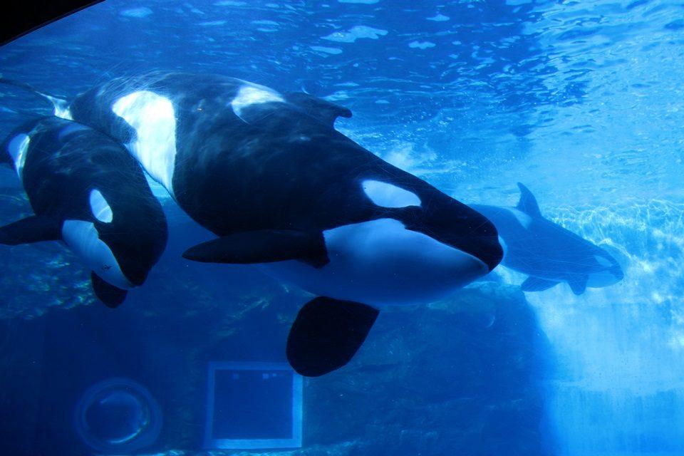名古屋港水族館 3頭のシャチ