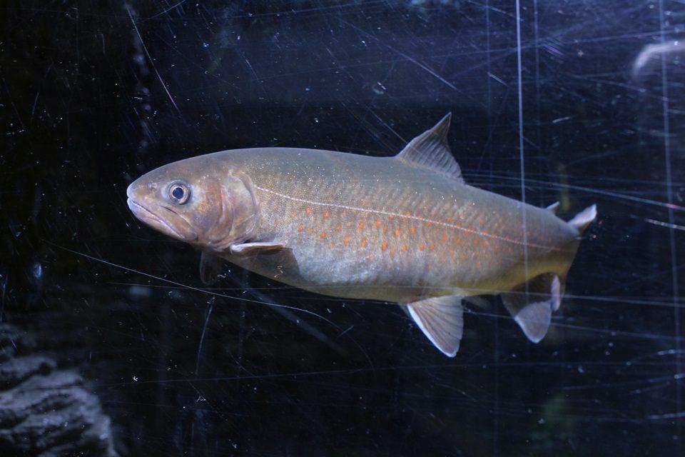 世界淡水魚園水族館 アクア・トトぎふ ヤマトイワナ
