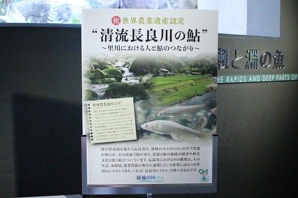 淡水魚水族館 アクア・トト 鮎(アユ)