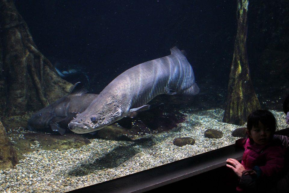 世界淡水魚園水族館 アクア・トトぎふ ピラルクー