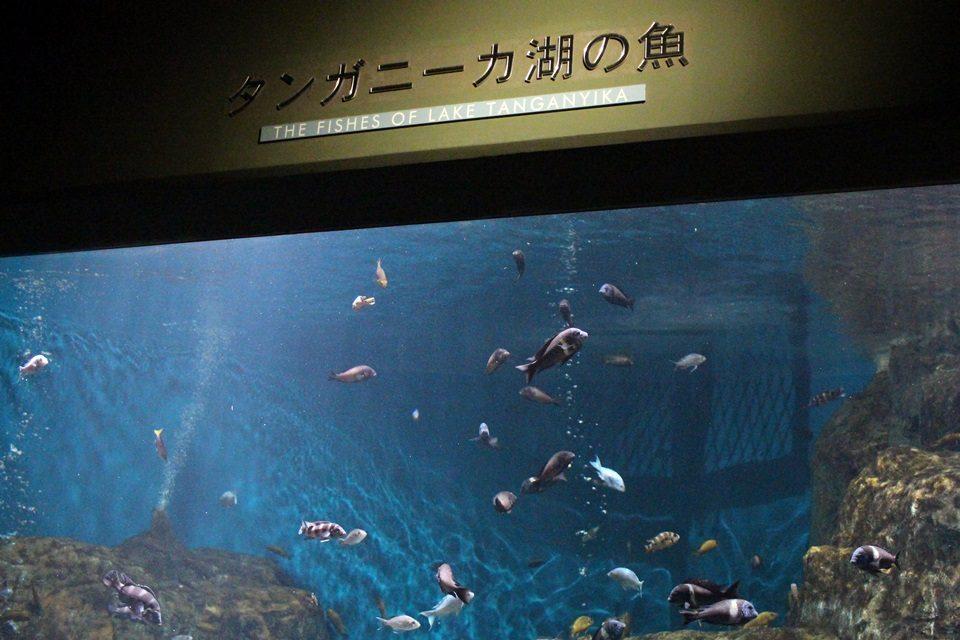 世界淡水魚園水族館 アクア・トトぎふ タンガニーカ湖の魚