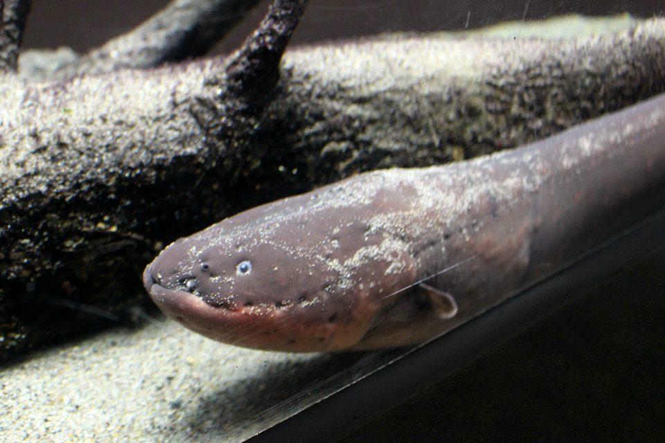 世界淡水魚園水族館 アクア・トトぎふ デンキウナギ