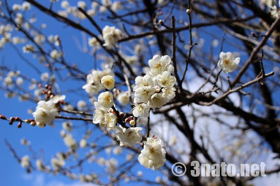 春の訪れを感じさせる桜