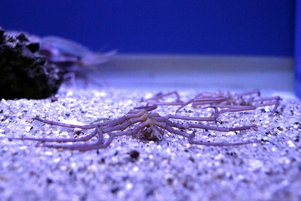 竹島水族館 ヤマトトックリウミグモ