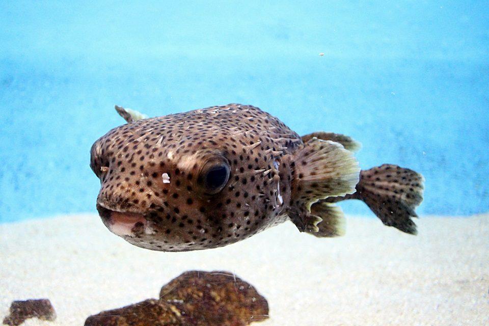 竹島水族館のネズミフグ