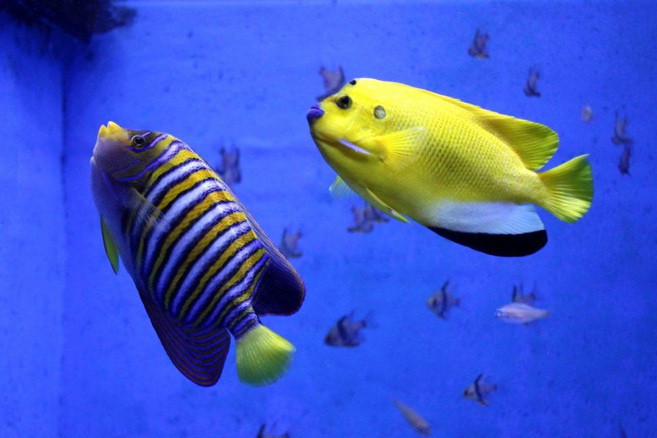 竹島水族館 ニシキヤッコとシテンヤッコ
